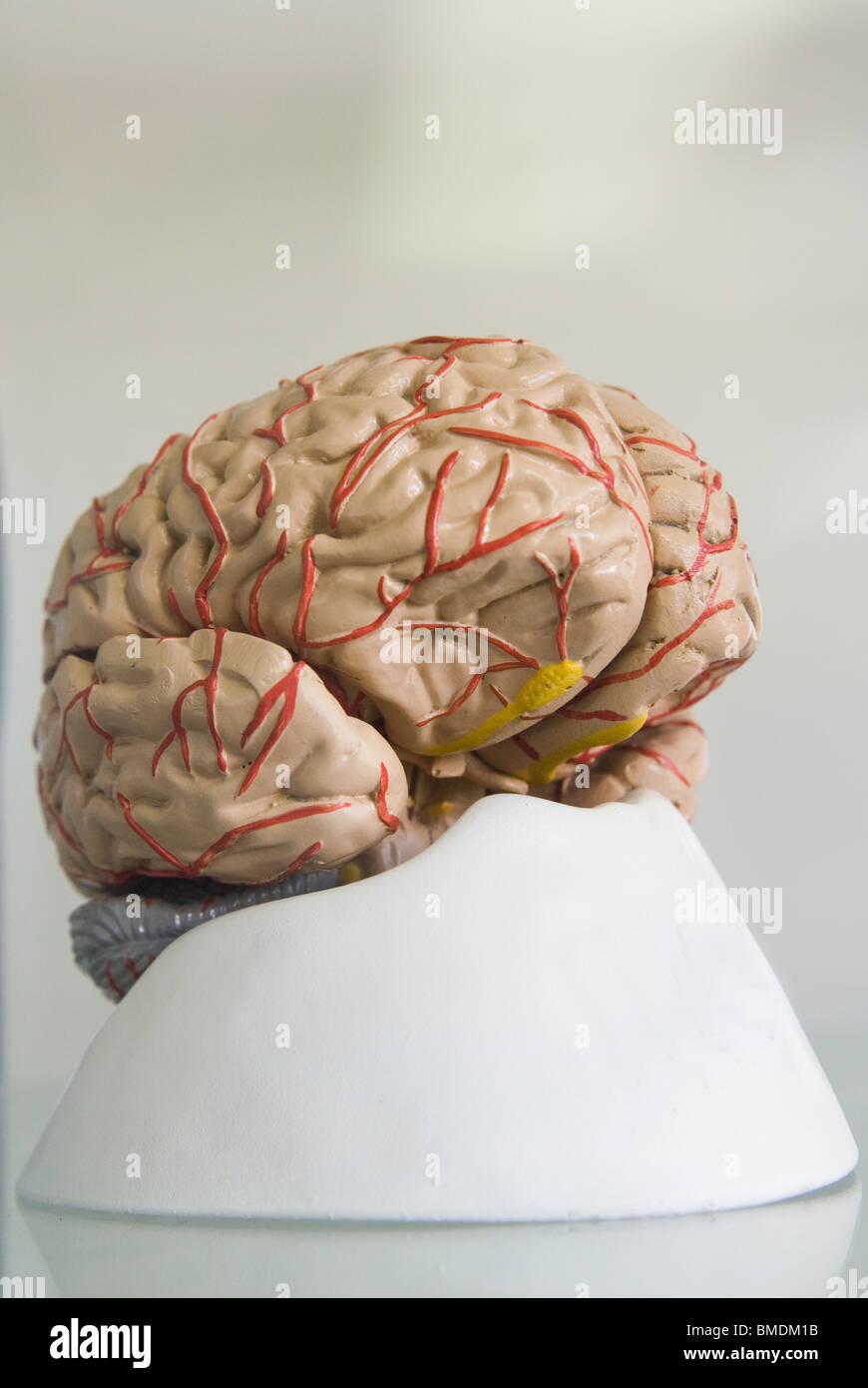 Brain Model Beirut University Lebanon Middle East - Stock Image
