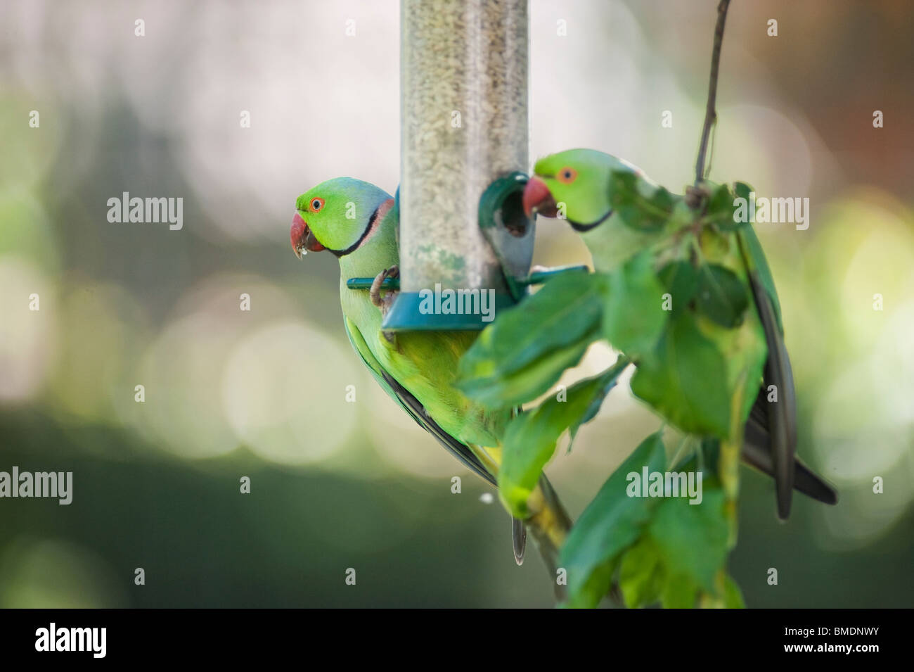 Wild Ring Necked Parakeets on nut feeder, London, England, UK Stock Photo