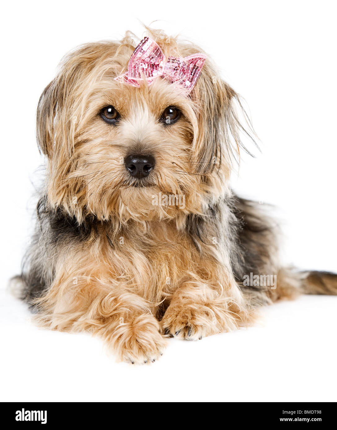 Beautiful Shot of a Cute Yorkshire Terrier Laying Down - Stock Image
