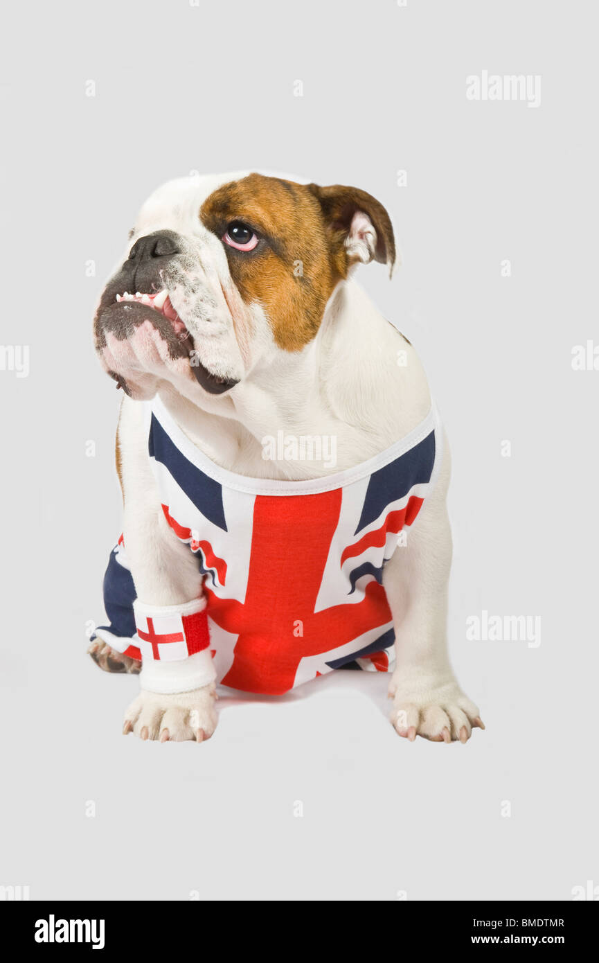 A British Bulldog wearing a Union Jack vest and English red cross flag wrist sweat band against a (224rgb) grey - Stock Image