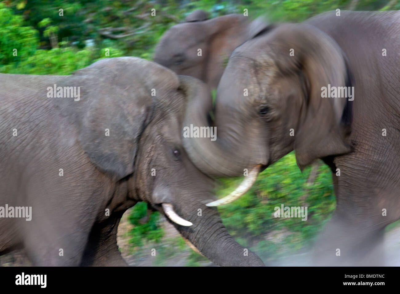 Two African Bull Elephants fighting (Loxodonta africana) in Chobe National Park in Botswana. - Stock Image