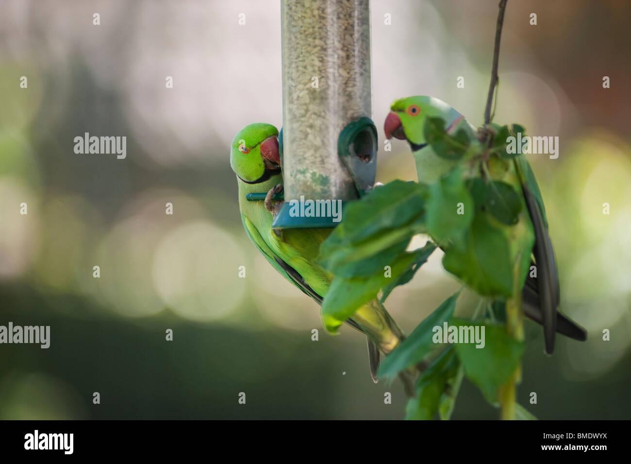 Wild Ring Necked Parakeets on nut feeder, London, England, UK Stock Photo