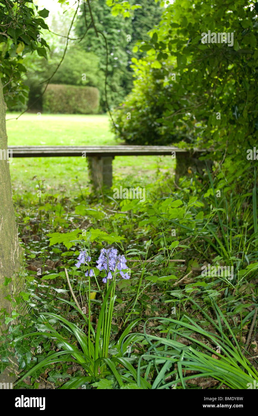 Bluebell growing on forest floor near bench in forest glade Stock Photo