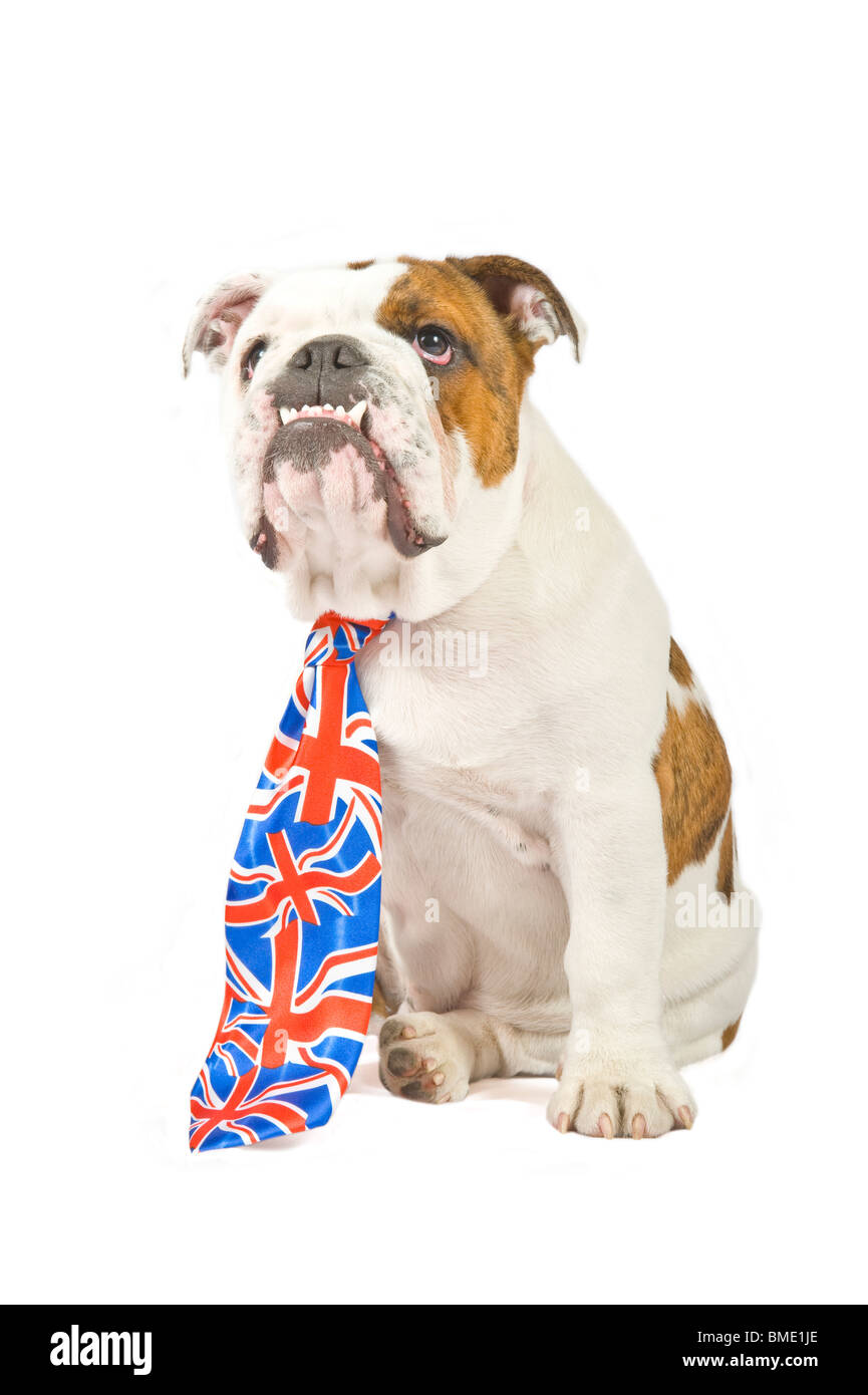 A 6 month old British Bulldog wearing a Union Jack tie against a pure white (255rgb) background. - Stock Image