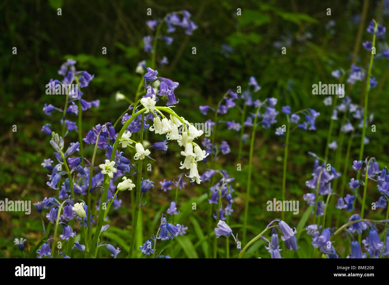 White bluebell among traditional blue flowers. Stock Photo