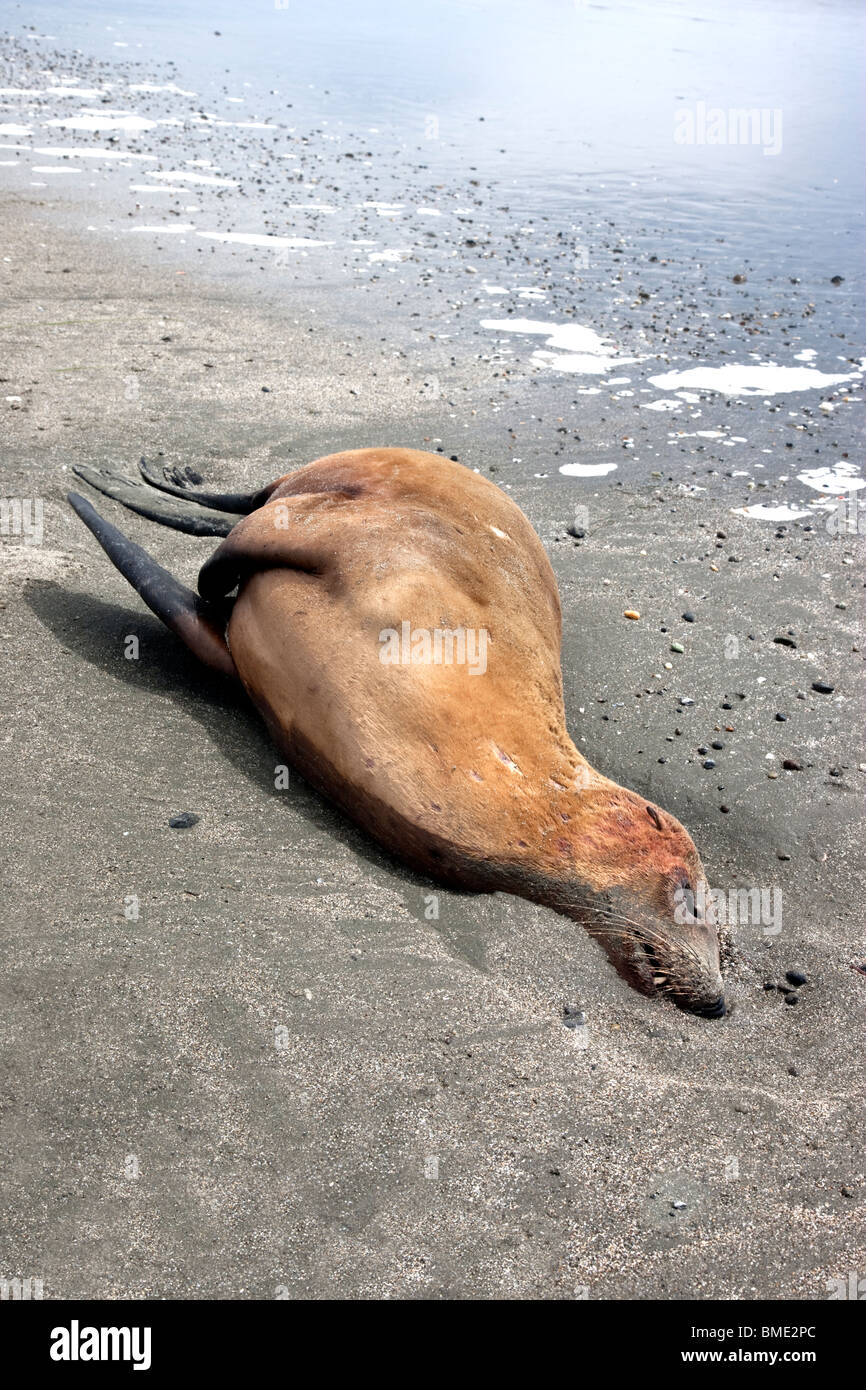 Immature Sea Lion 'yearling' deceased, beach. Stock Photo