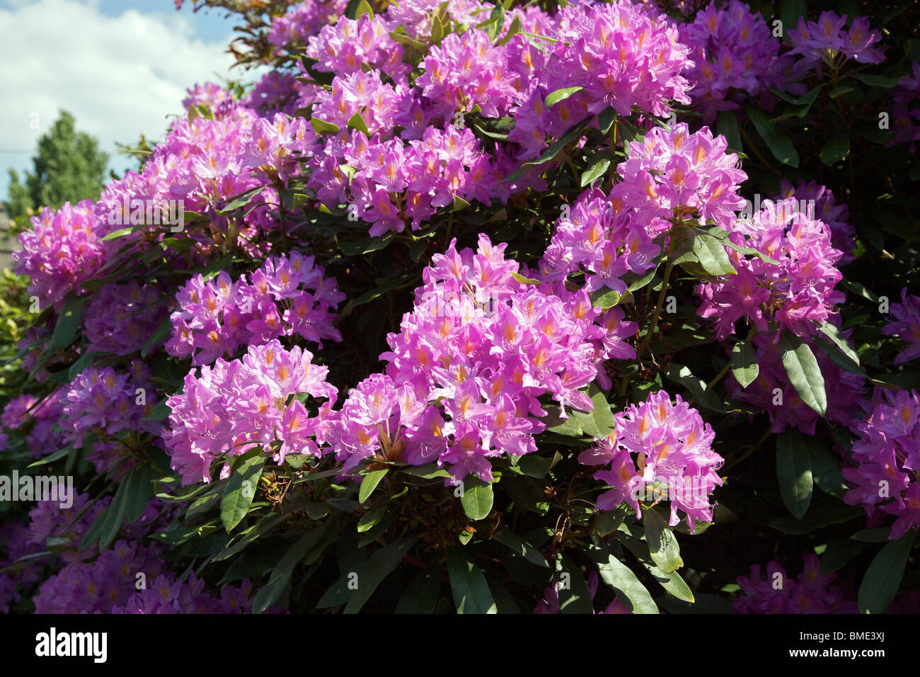 Purple rhododendron bush with flowers Stock Photo