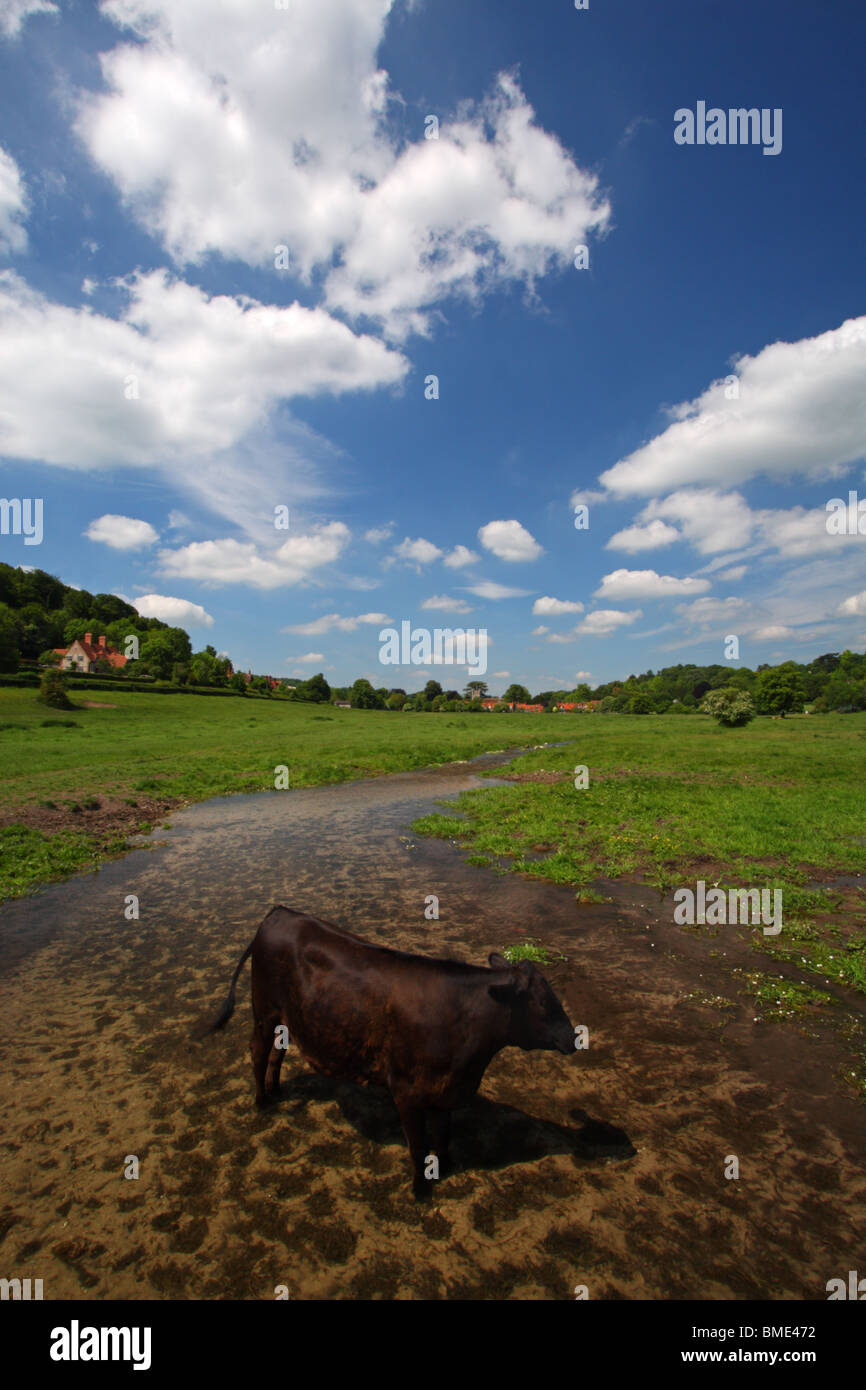 A single cow standing in the water of Hambleden Brook, a chalk stream flowing from Hambleden to Mill End in the - Stock Image