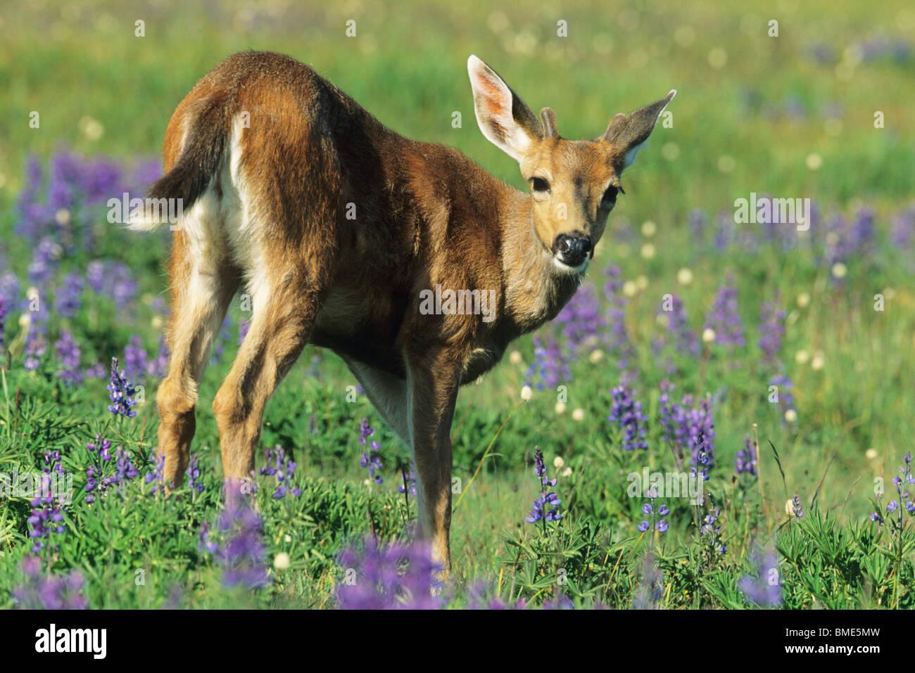 Black-tailed Deer, (Odocoileus hemionus), and lupine meadow, Hurricane Ridge, Olympic National Park, WA, USA. - Stock Image