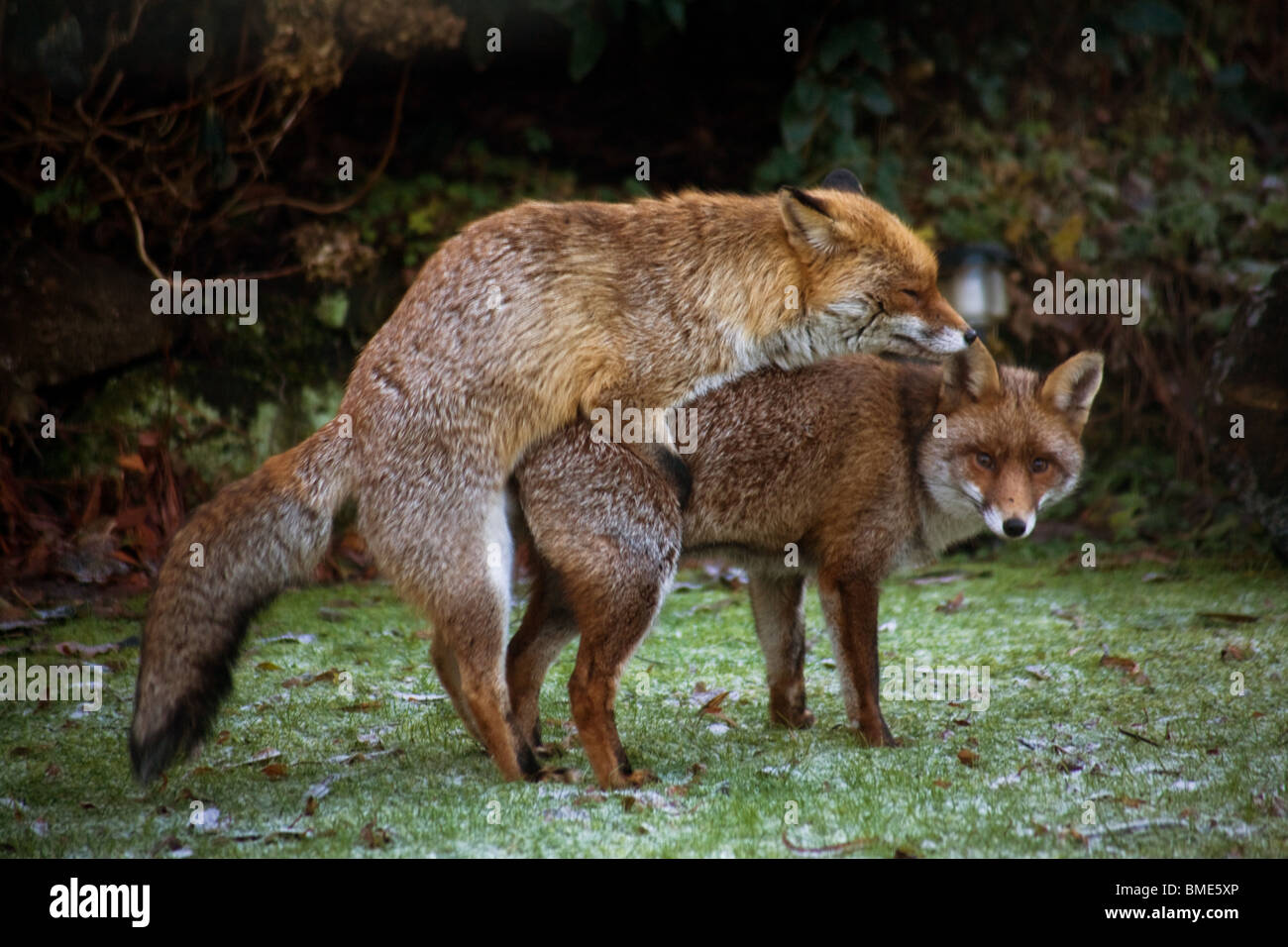 MATING FOXES KENT GARDEN UNITED KINGDOM WILDLIFE WILD ...