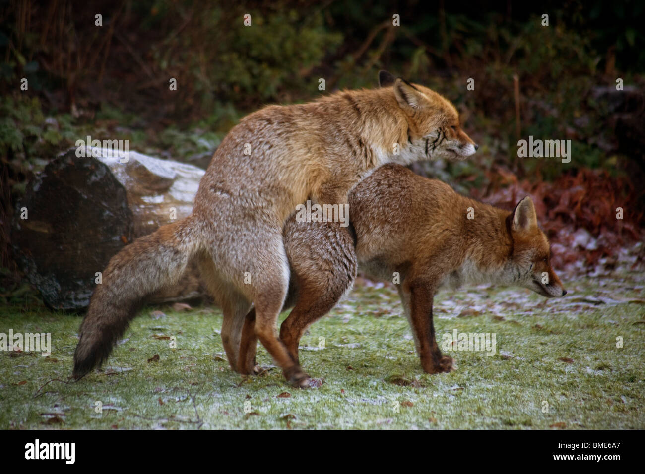 MATING FOXES KENT GARDEN UNITED KINGDOM WILDLIFE WILD
