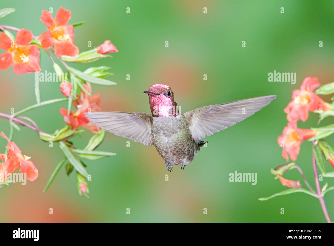 Anna's Hummingbird in Scarlet Monkey Flower - Stock Image