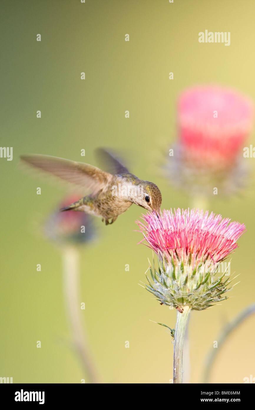 Female Anna's Hummingbird and California Thistle - Vertical - Stock Image