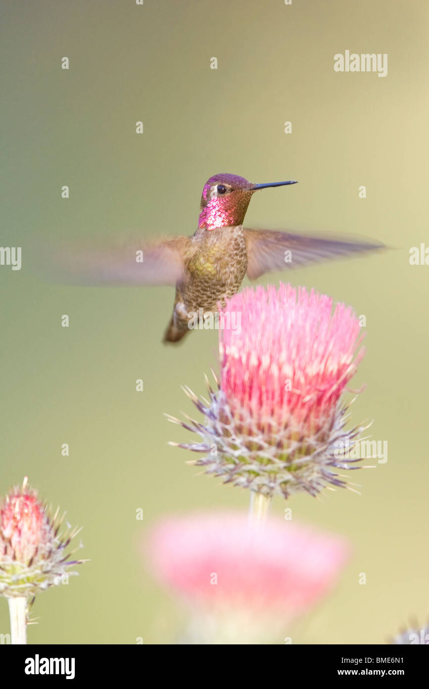 Anna's Hummingbird and California Thistle - Vertical - Stock Image
