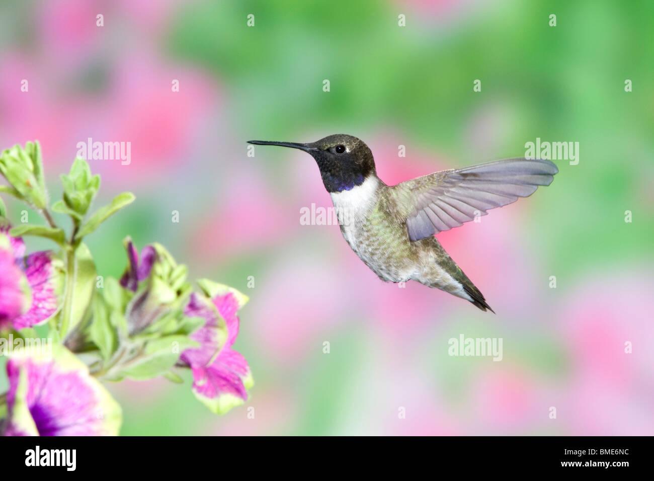 Black-chinned Hummingbird in Petunia x hybrida 'Pretty Much Picasso' - Stock Image