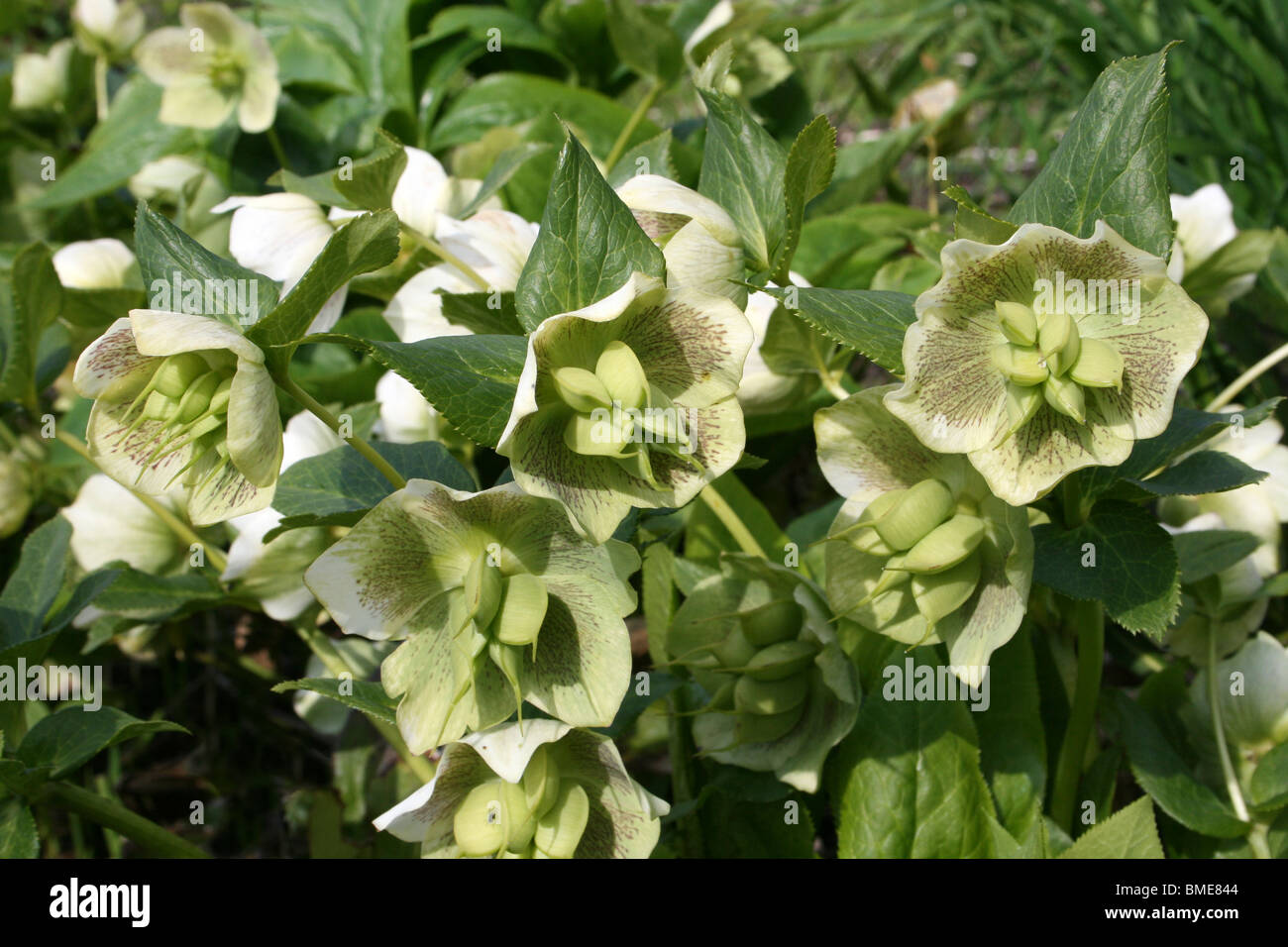 Hellebore Seed Stock Photos Hellebore Seed Stock Images Alamy