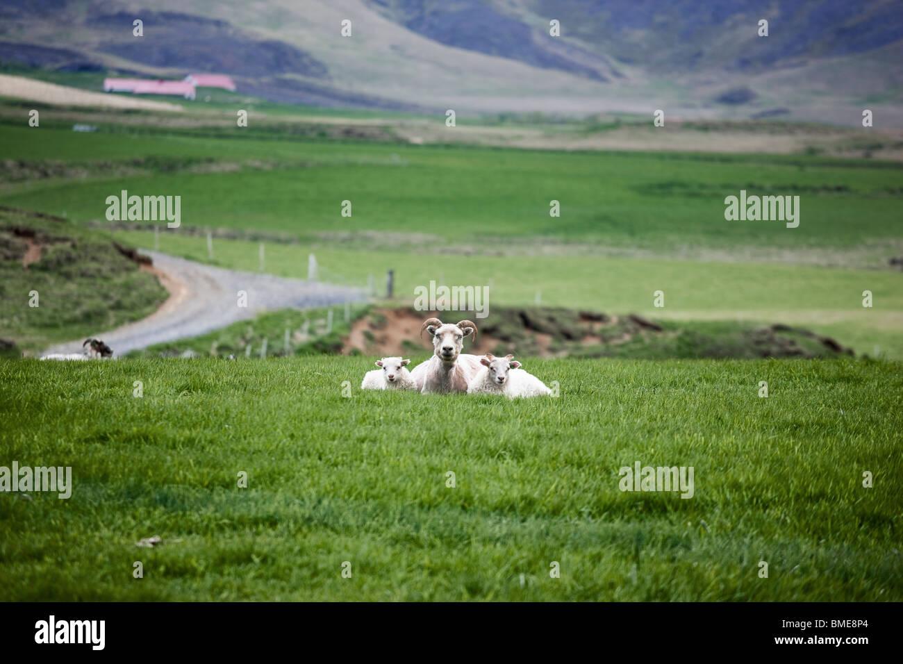 Sheep sitting on grass - Stock Image