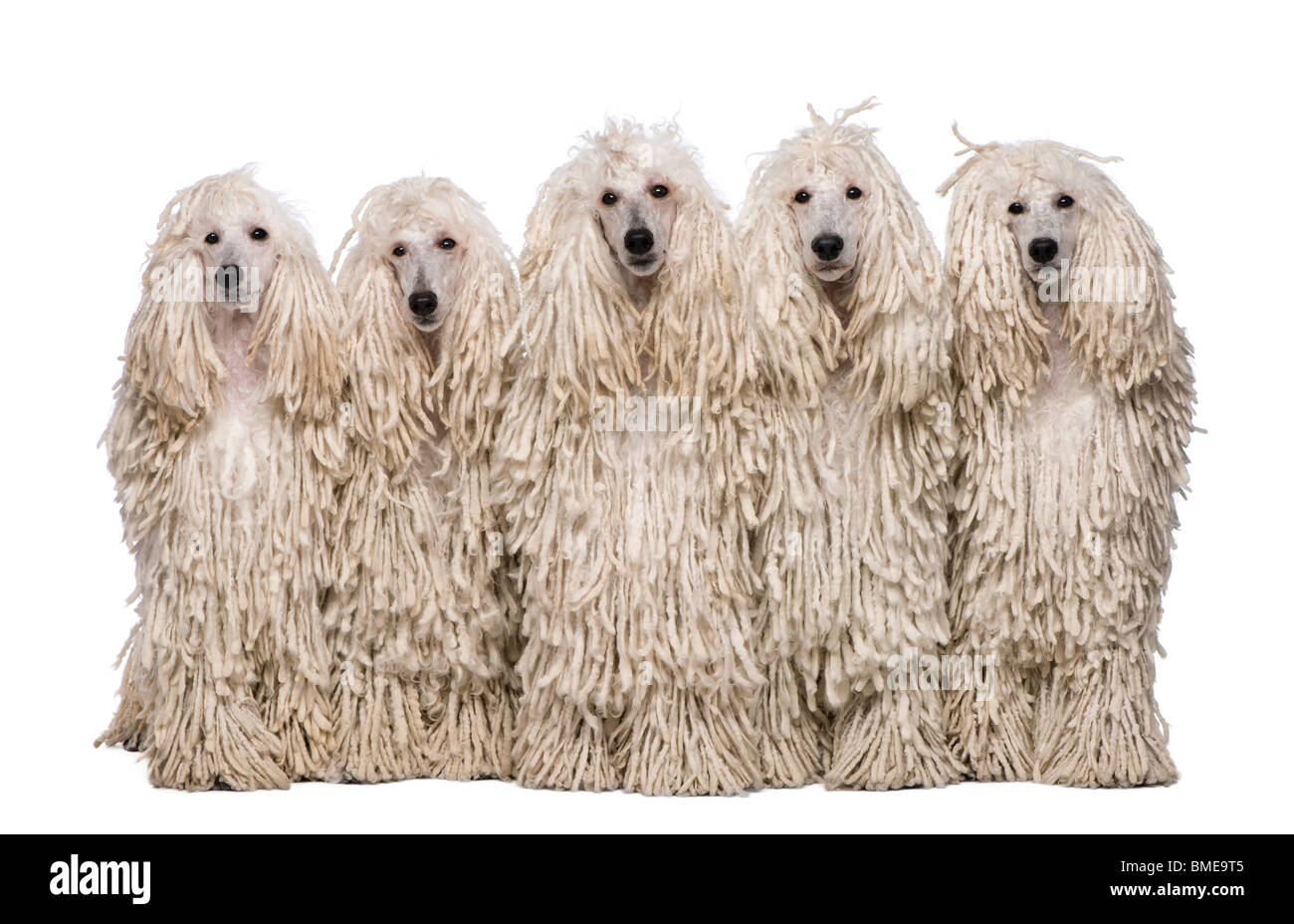 Five White Corded Standard Poodles sitting in front of white background - Stock Image