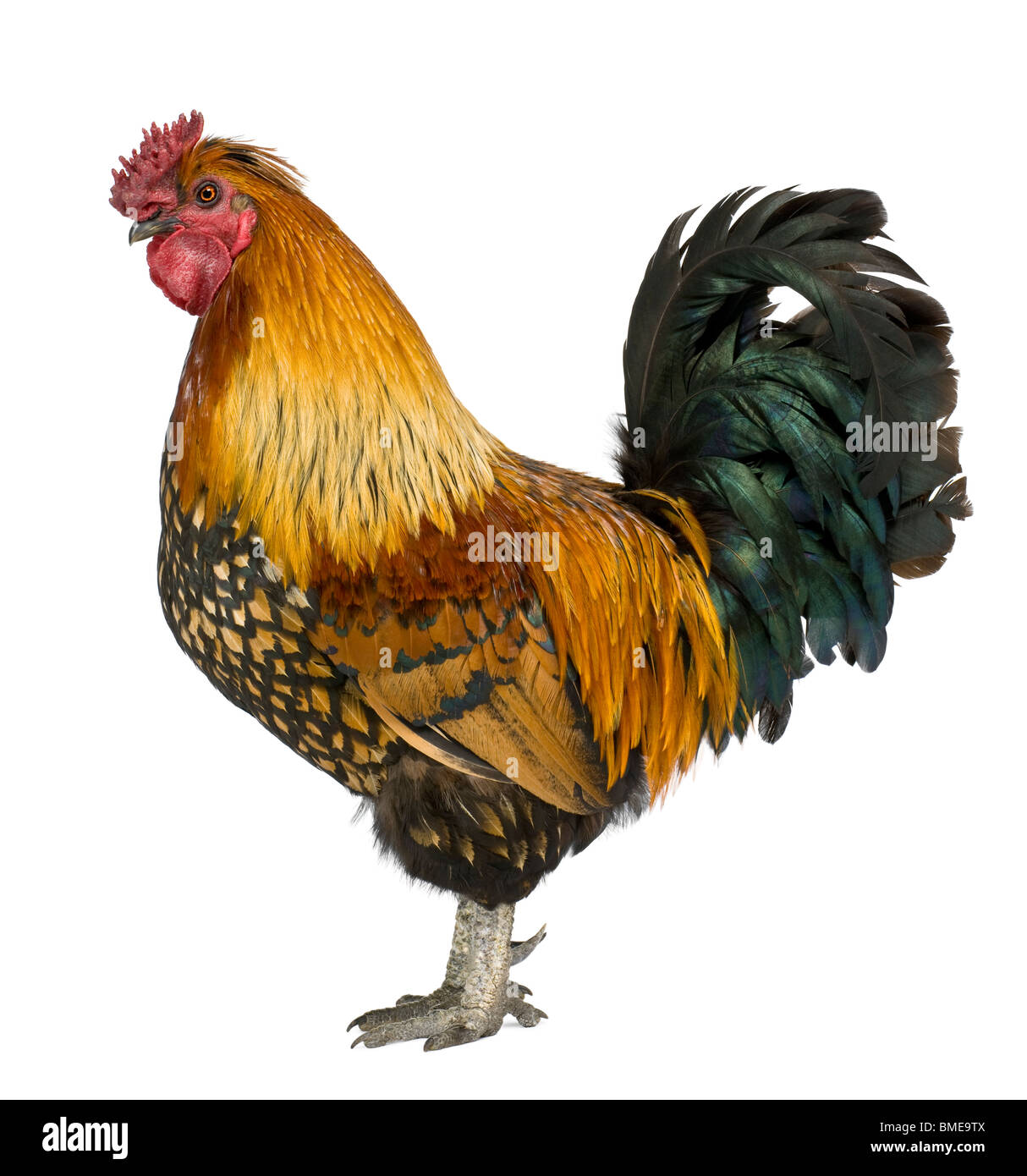 Gallic rooster, 5 years old, standing in front of white background - Stock Image