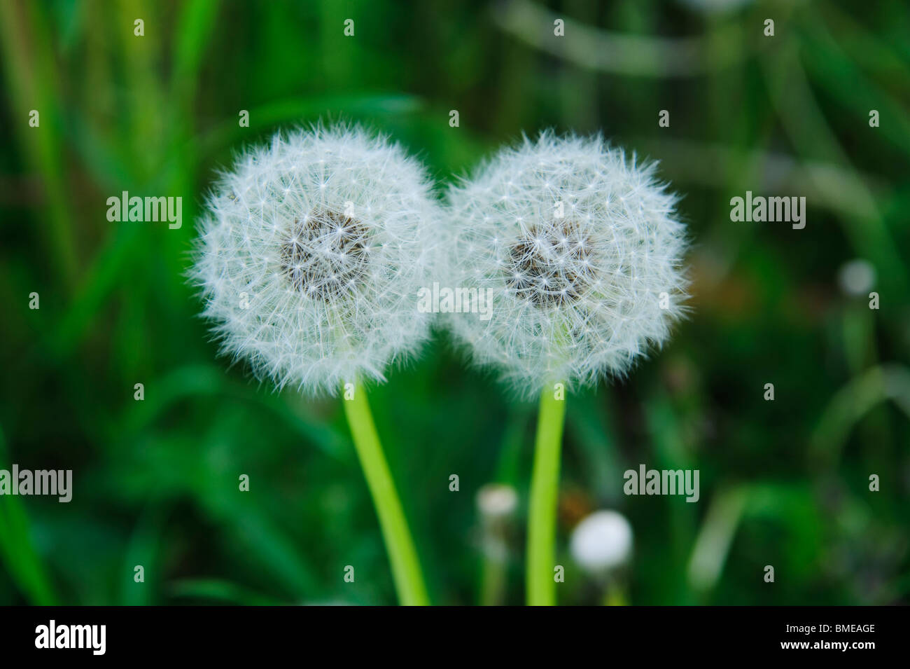 Faded dandelions, close-up, Sweden. - Stock Image