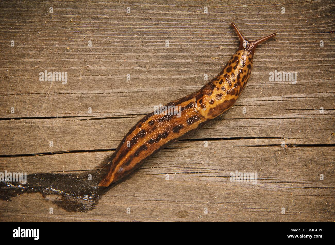 Snail on wood, Sweden. - Stock Image