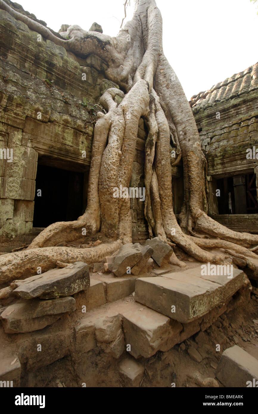 Wat Is Kapok.Kapok Tree At Ta Prohm Angkor Wat Cambodia Stock Photo