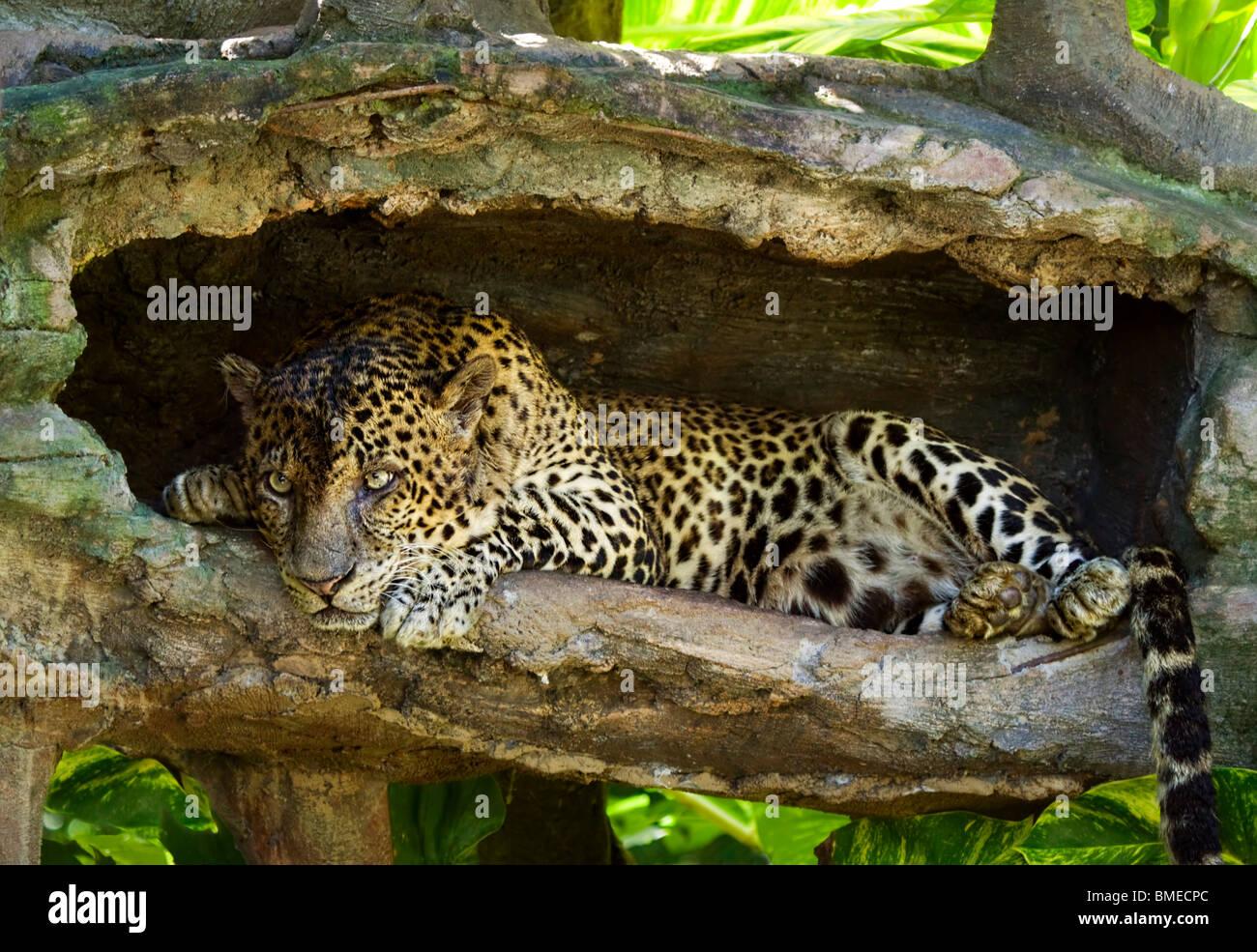 Leopard; Panthera pardus - Stock Image