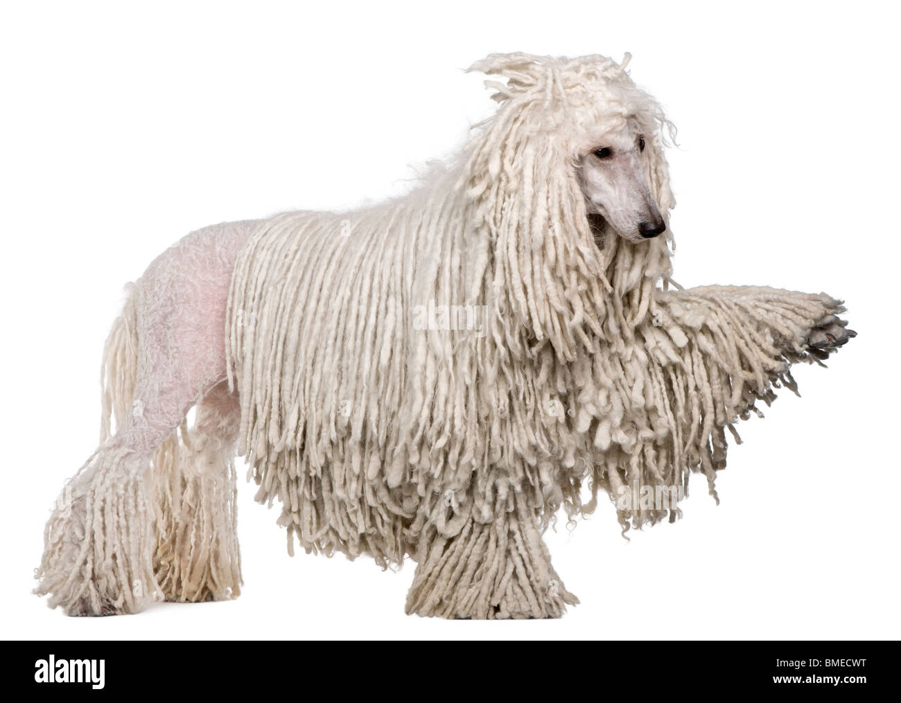 Side view of White Corded standard Poodle with raised paw standing in front of white background - Stock Image