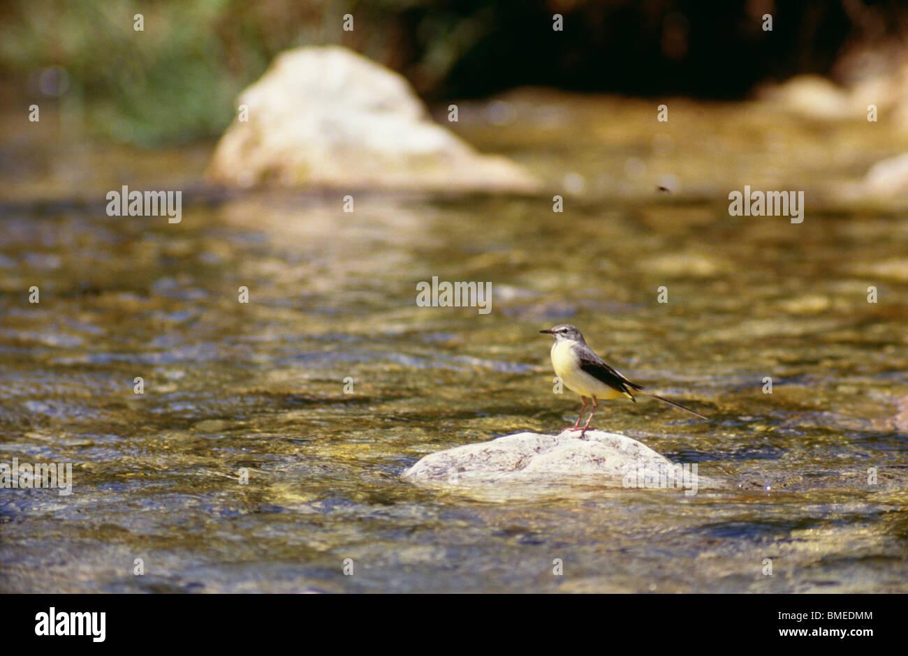 Bird perching on rock - Stock Image