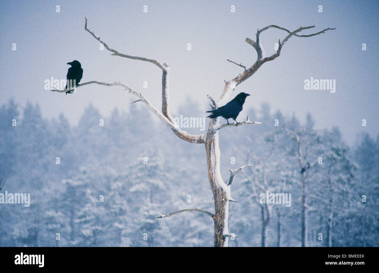 Two ravens perching on bare tree - Stock Image