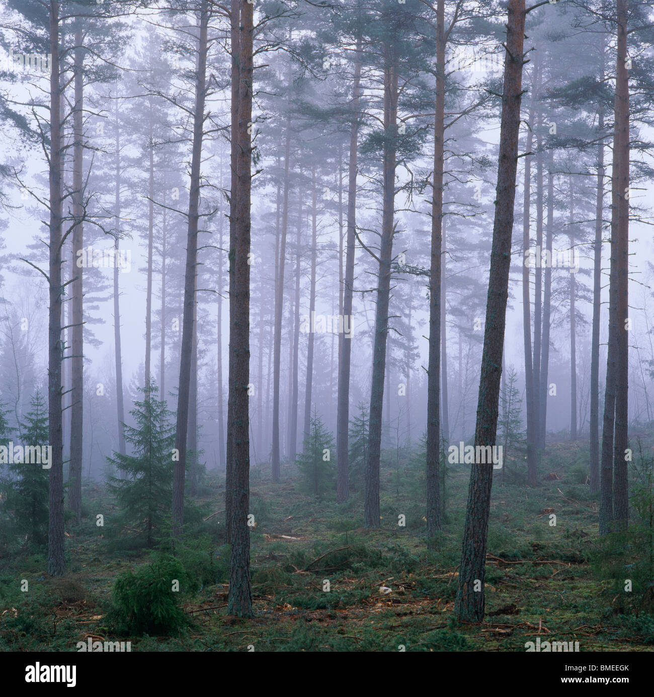View of coniferous forest covered with fog - Stock Image
