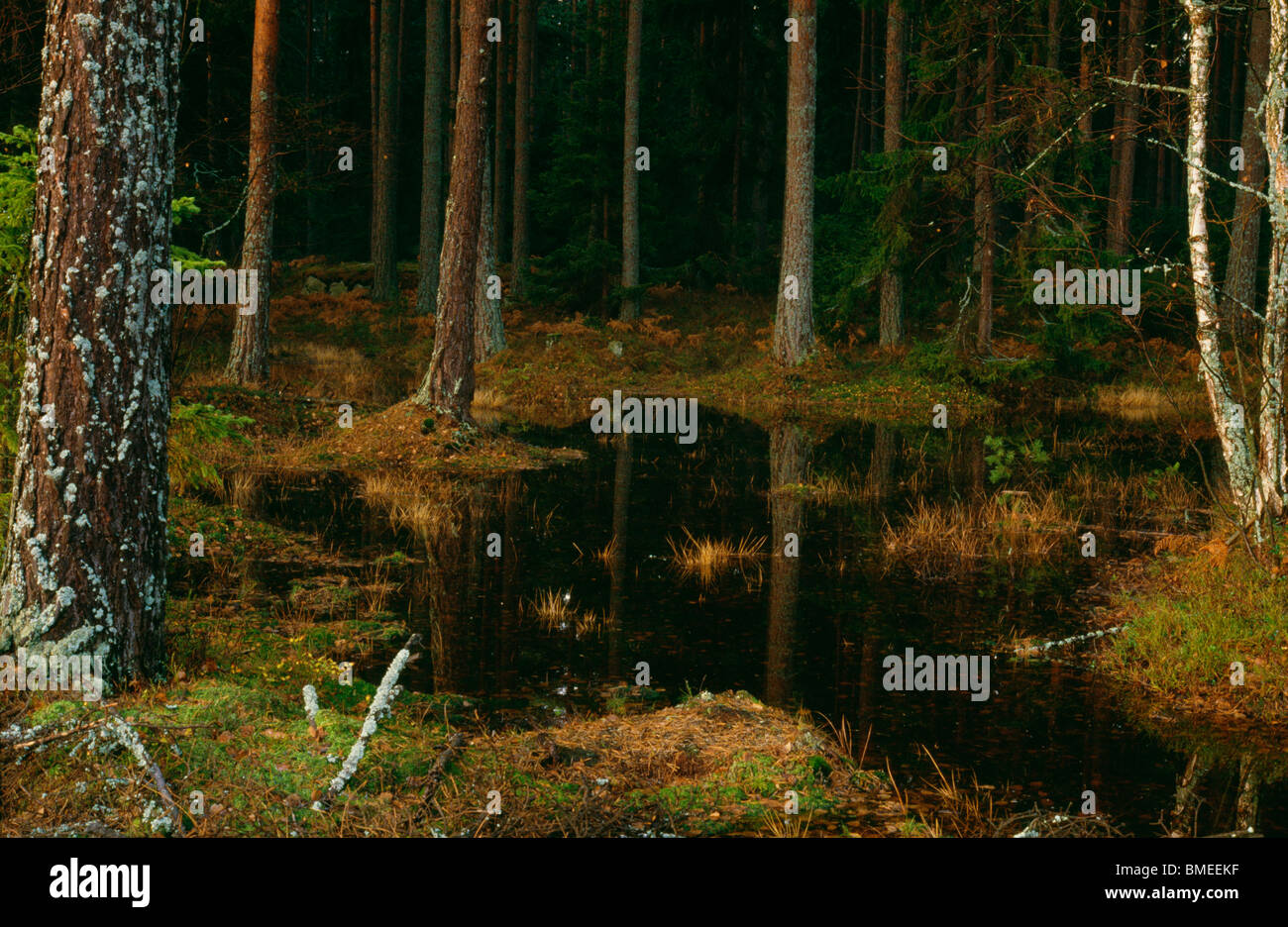 View of stream in coniferous forest - Stock Image