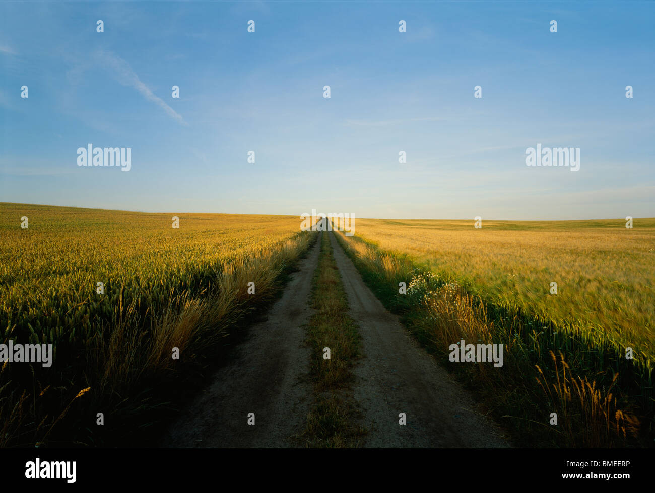 Dirt track passing through wheat field - Stock Image
