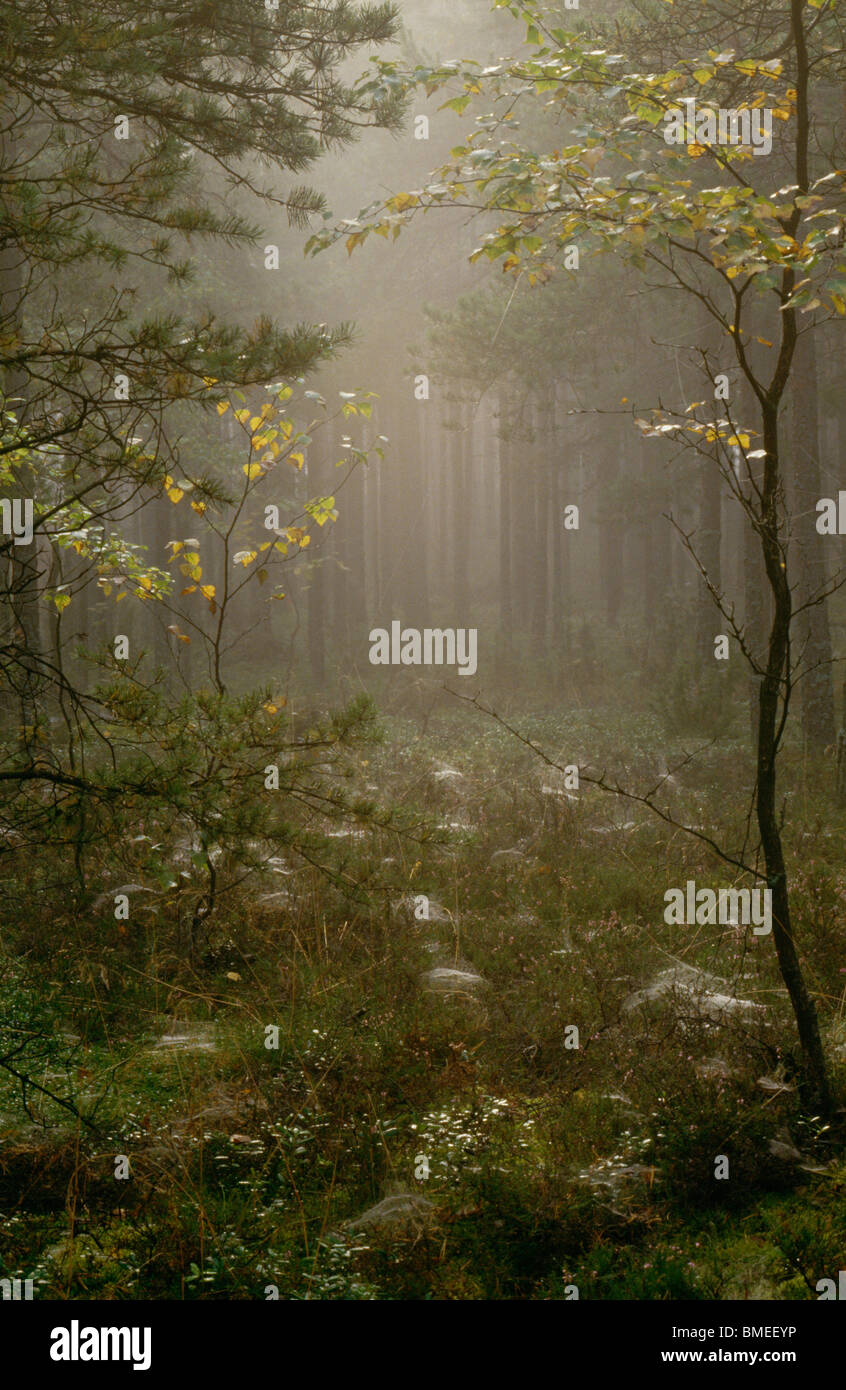 View of foggy coniferous forest - Stock Image