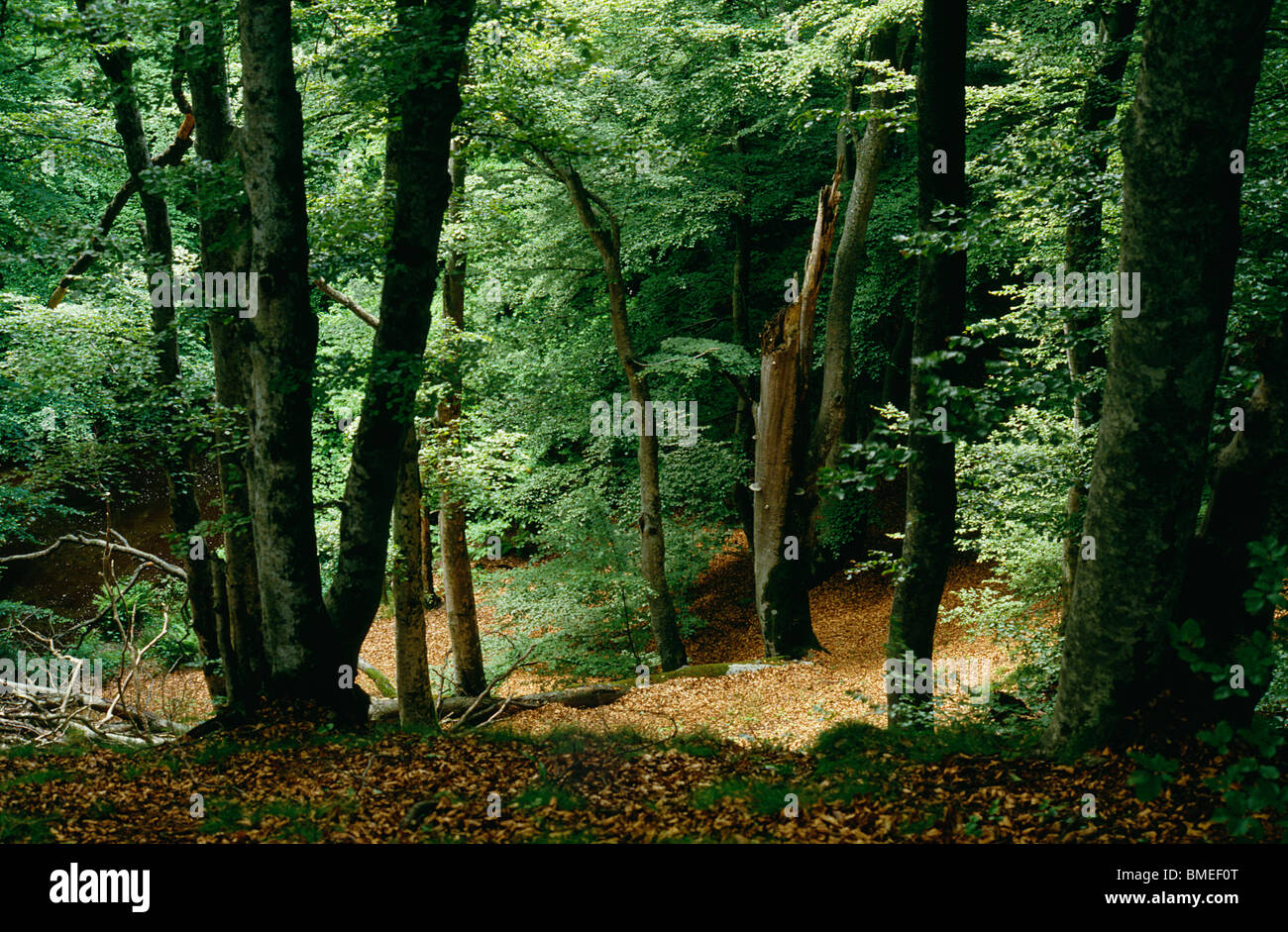 View beech trees in forest - Stock Image