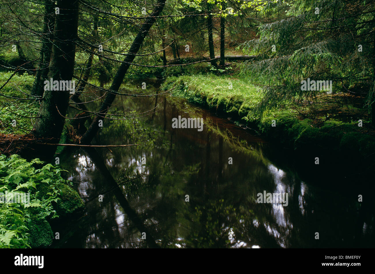 View of stream passing through coniferous forest - Stock Image