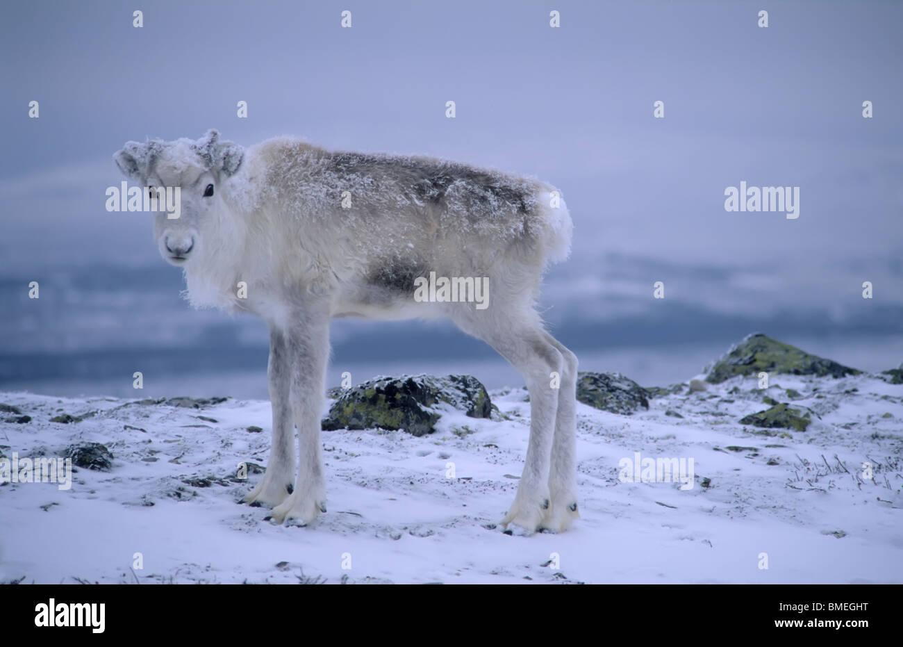 Scandinavia, Sweden, Dalarna, Animal in snow - Stock Image