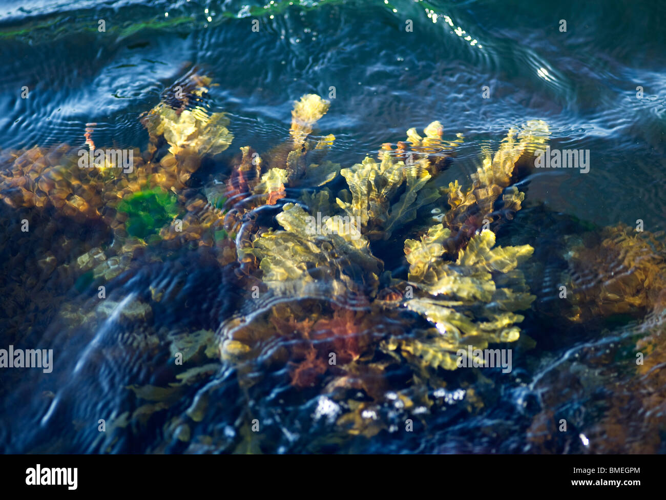 Scandinavia, Sweden, Halland, Vastkusten, View of algae - Stock Image