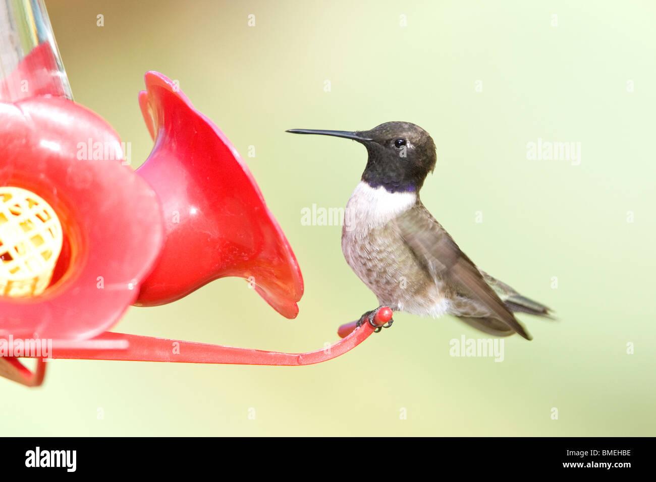 Black-chinned Hummingbird on Feeder - Stock Image