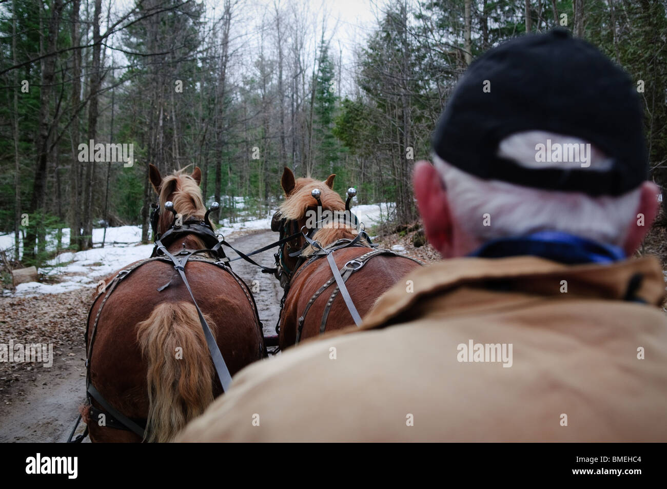 A traditional horse drawn carriage with driver and set of horses in wooded area. - Stock Image