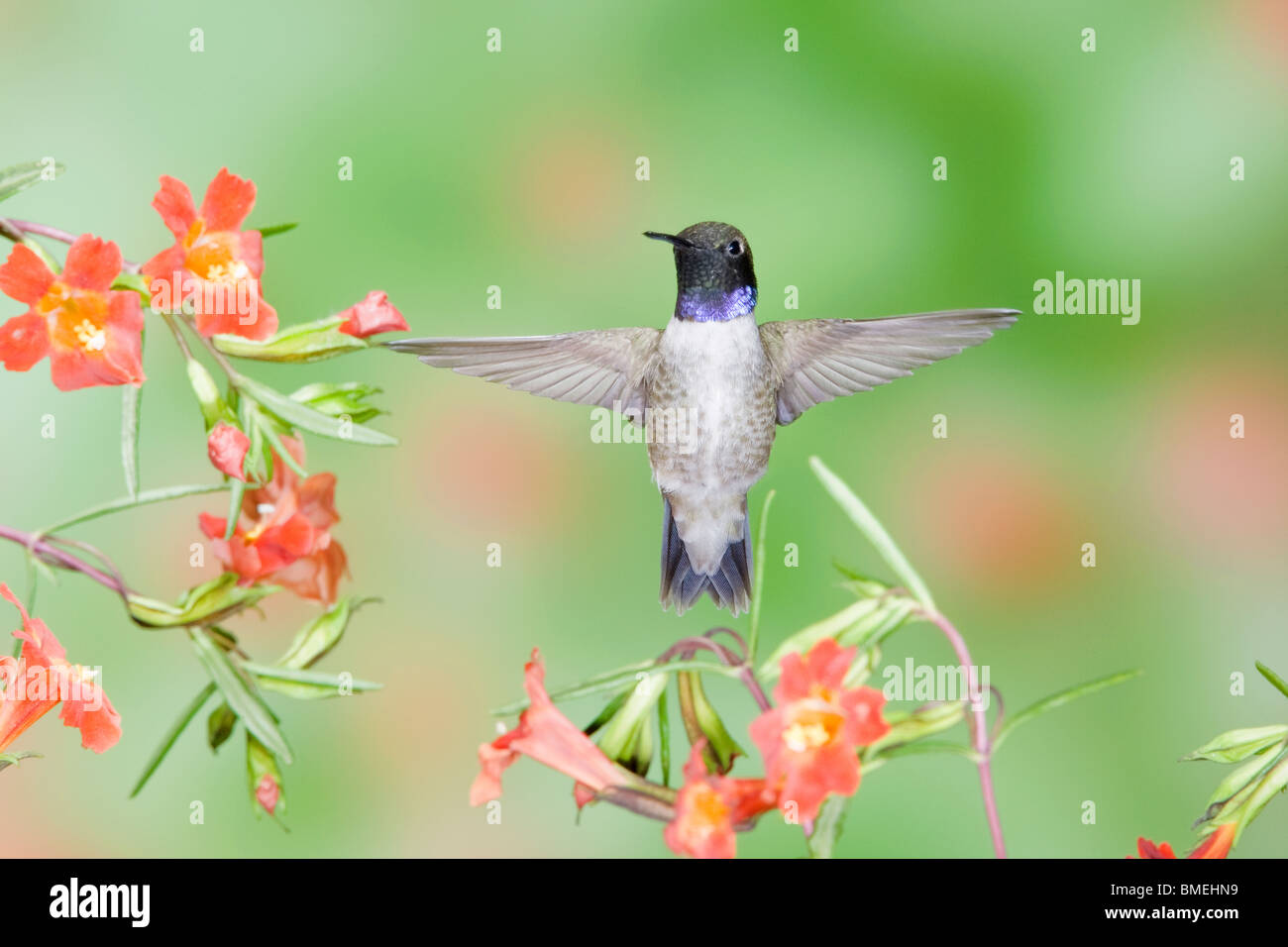 Black-chinned Hummingbird in Scarlet Monkey Flower - Stock Image