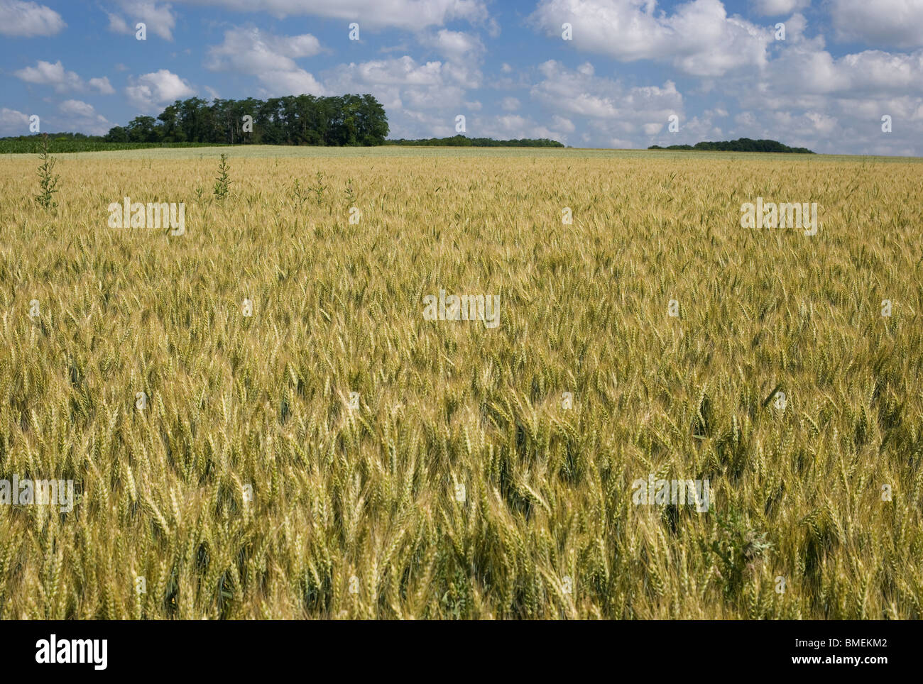WHEAT FIELD AUVERS-SUR-OISEFRANCE - Stock Image