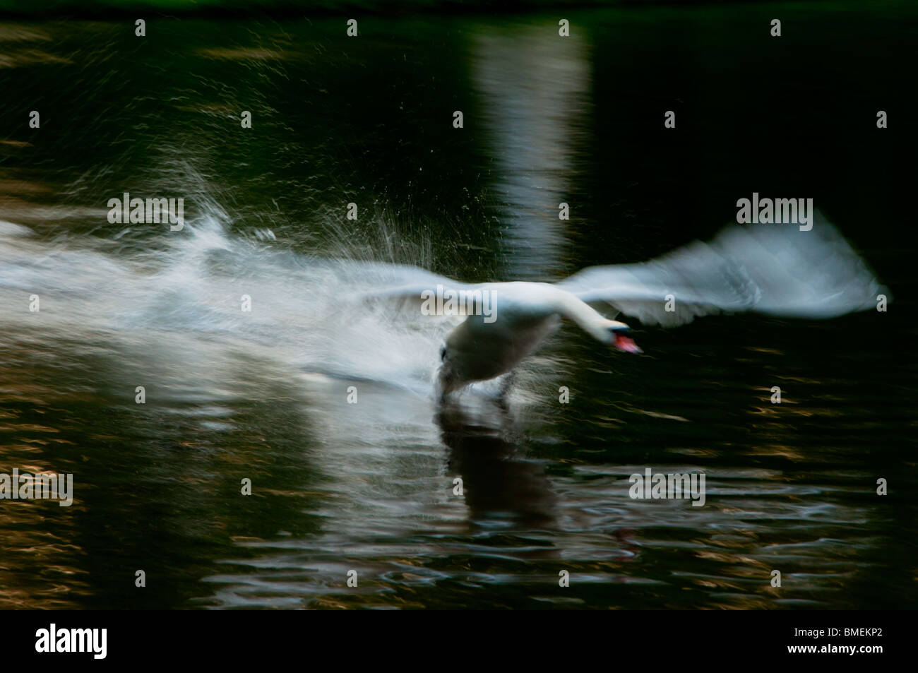 Swan landing - severe motion blur used as a creative effect. - Stock Image