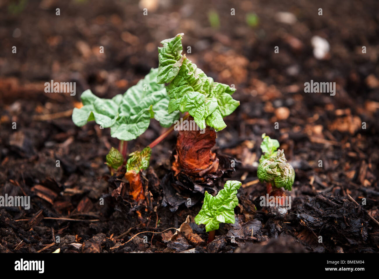 Rhubarb Leaf emerging and beginning to  open - Stock Image