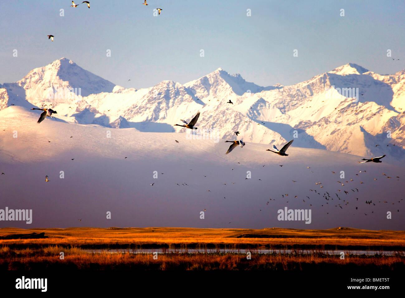 Swans flying, Swan Lake, Bayanbulak Grasslands, Bayingolin Mongol Autonomous Prefecture, Xinjiang, China - Stock Image