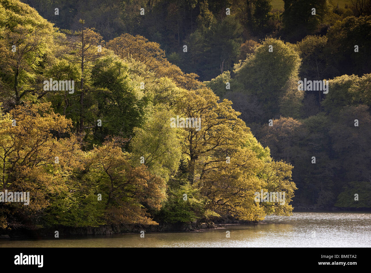UK, England, Devon, River Dart riverbank trees in new leaf - Stock Image