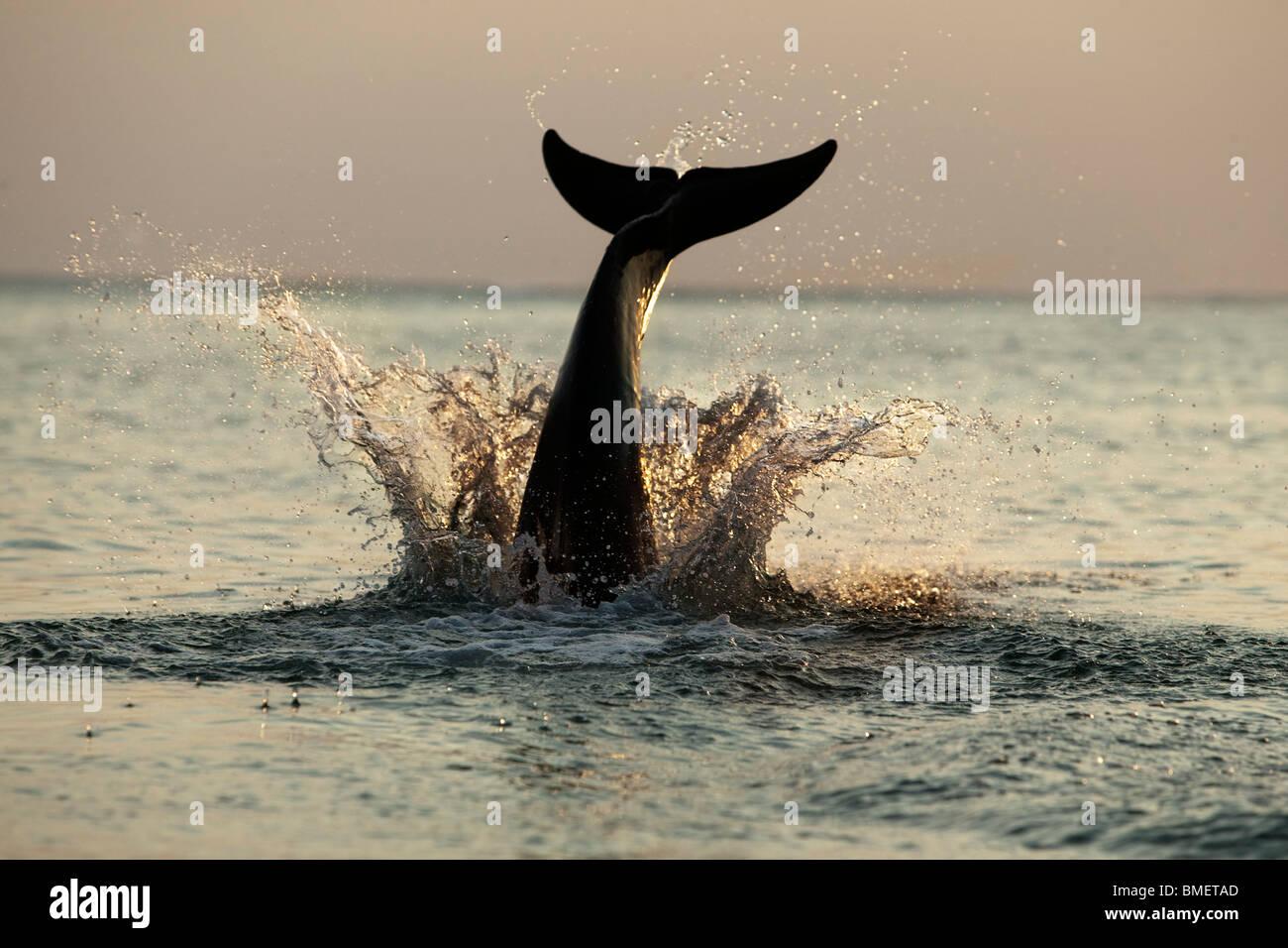Bottlenose Dolphin splashing into the water at sunset, Honduras - Stock Image