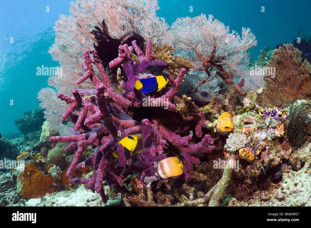 Bicolor angelfish, Klein's butterflyfish with gorgonian and purple encrusting sponge, Misool, West Papua, Indonesia Stock Photo