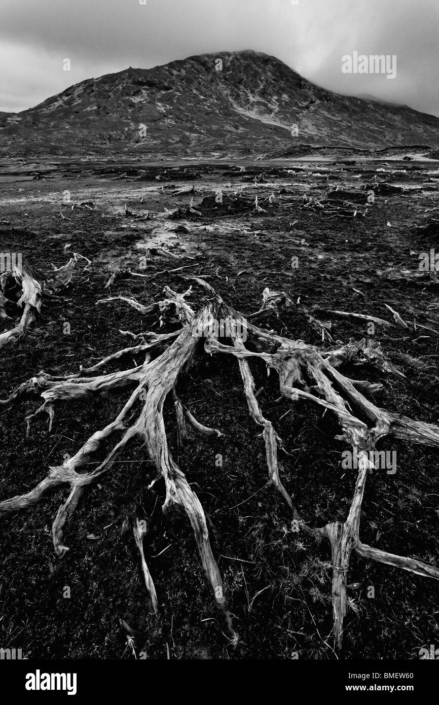 Bare roots of a dead Scots Pine tree in peat. Uncovered at low-water in the reservoir, Loch Quoich. - Stock Image