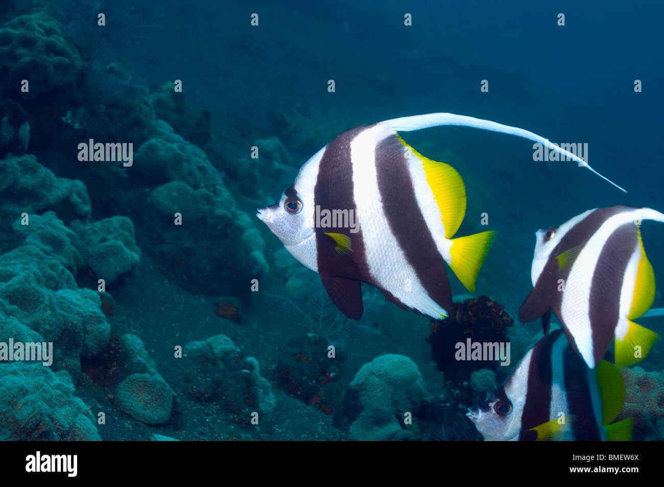 Longfin bannerfish.  Bali, Indonesia.  Indo-Pacific. Stock Photo